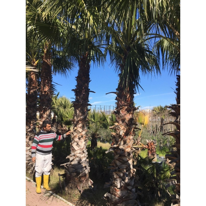 Washingtonia Filifera 3m