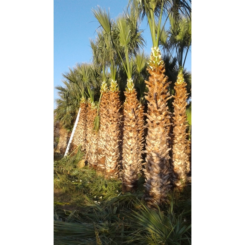 Washingtonia Filifera 5m